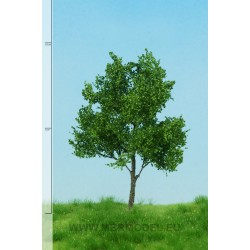 Canadian poplar summer