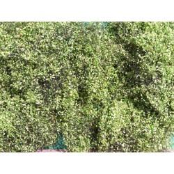 Feuillage vert clair été pour buissons